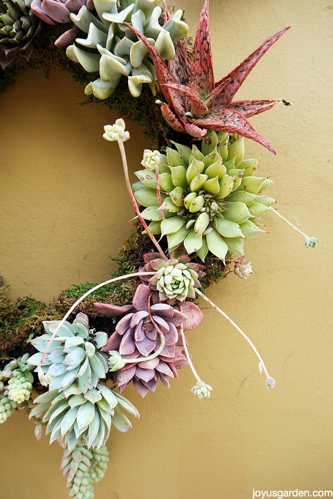 Picture of 5 Easy Steps to Making a Living Succulent Wreath