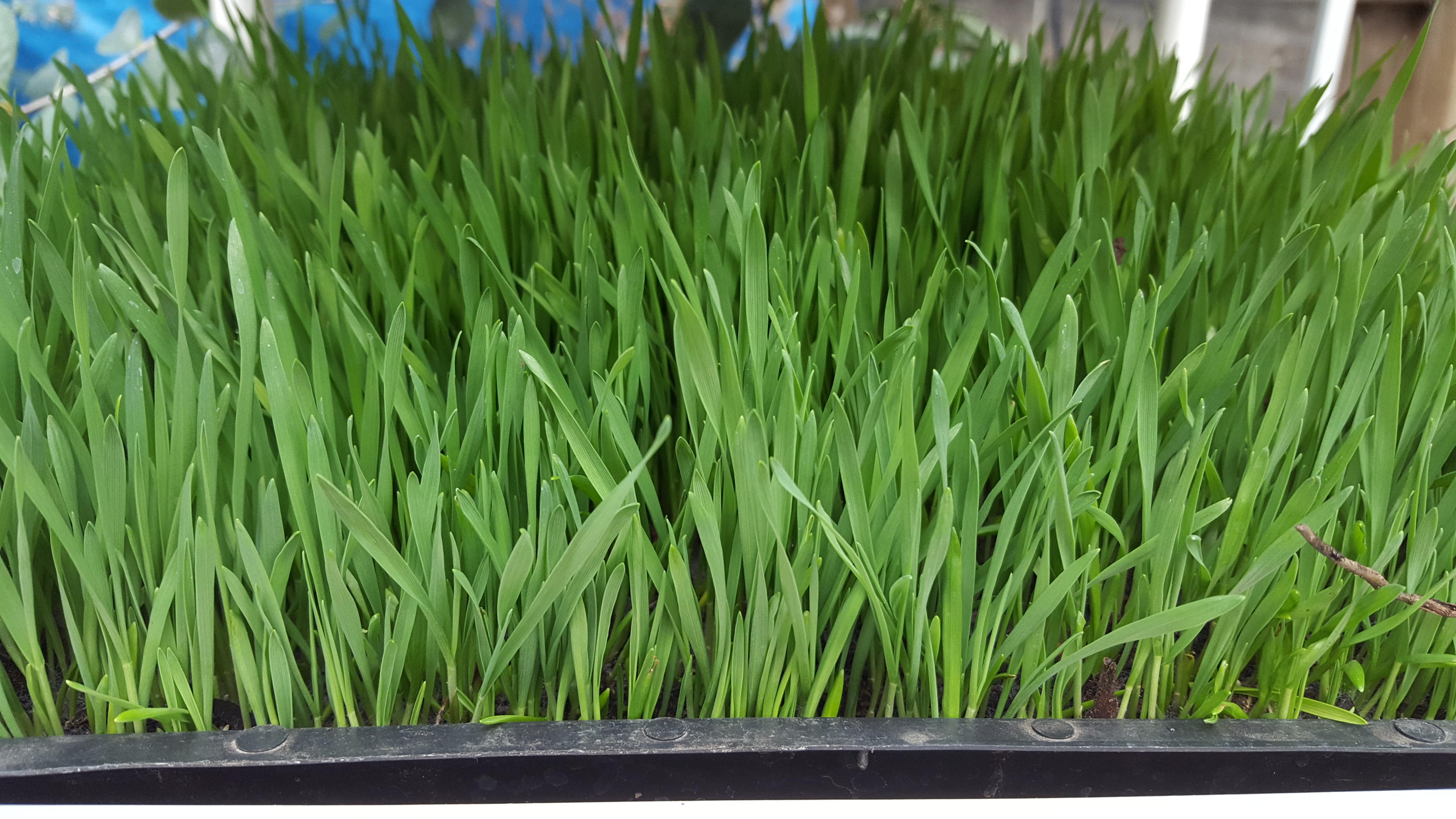 Picture of Perpetual Wheatgrass