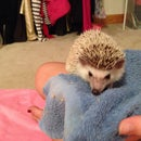 How To: Pick Up Your Hedgehog