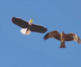 RC Eagle for Bird photography