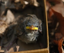Injured Bird: What To Do - Step by Step