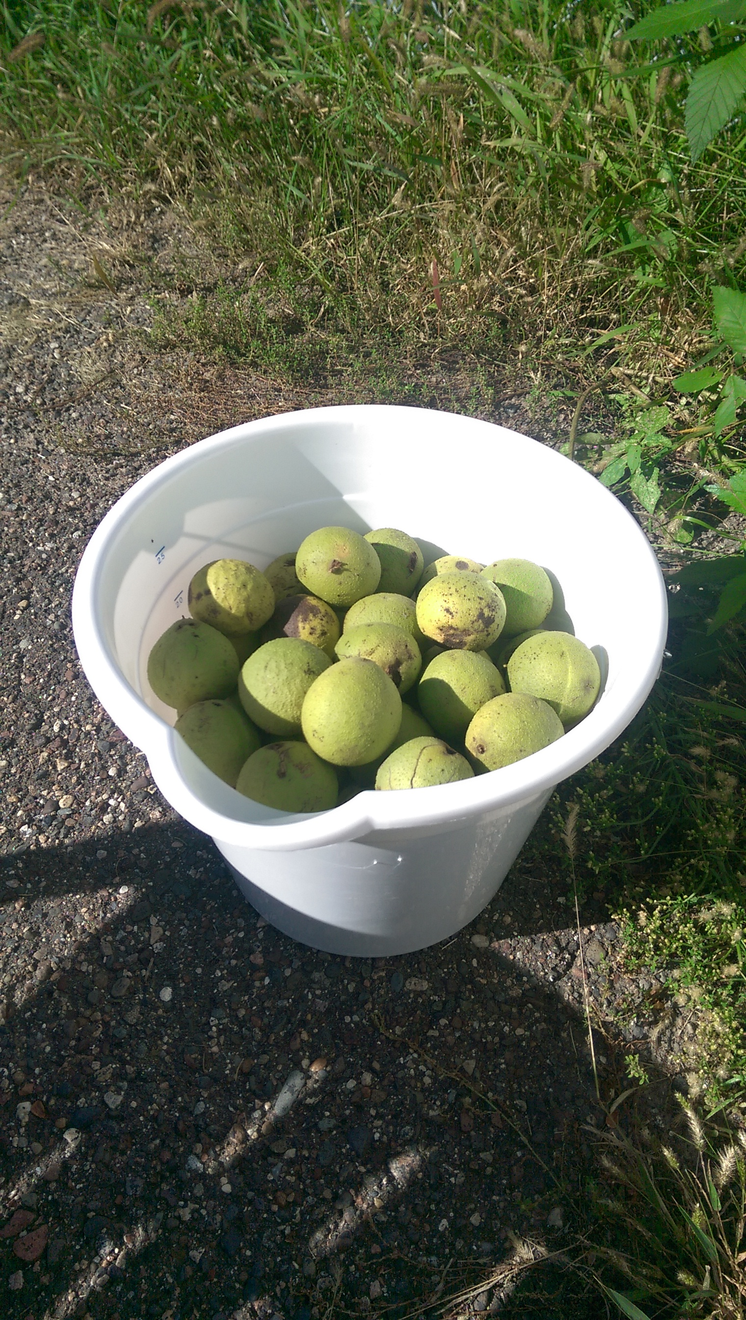 Picture of Gather Your Walnuts