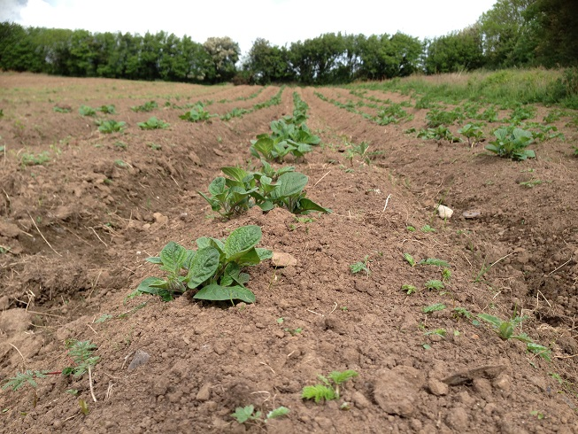 Picture of Potatoes From 'Seed' Tubers