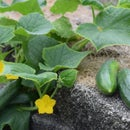Growing Cucumber on Retaining Wall
