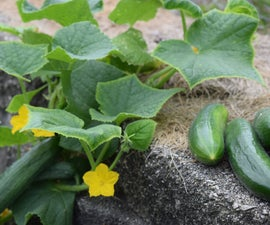 Growing Cucumber on Retaining Wall