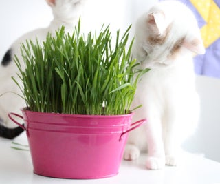 How to Grow Cat Grass