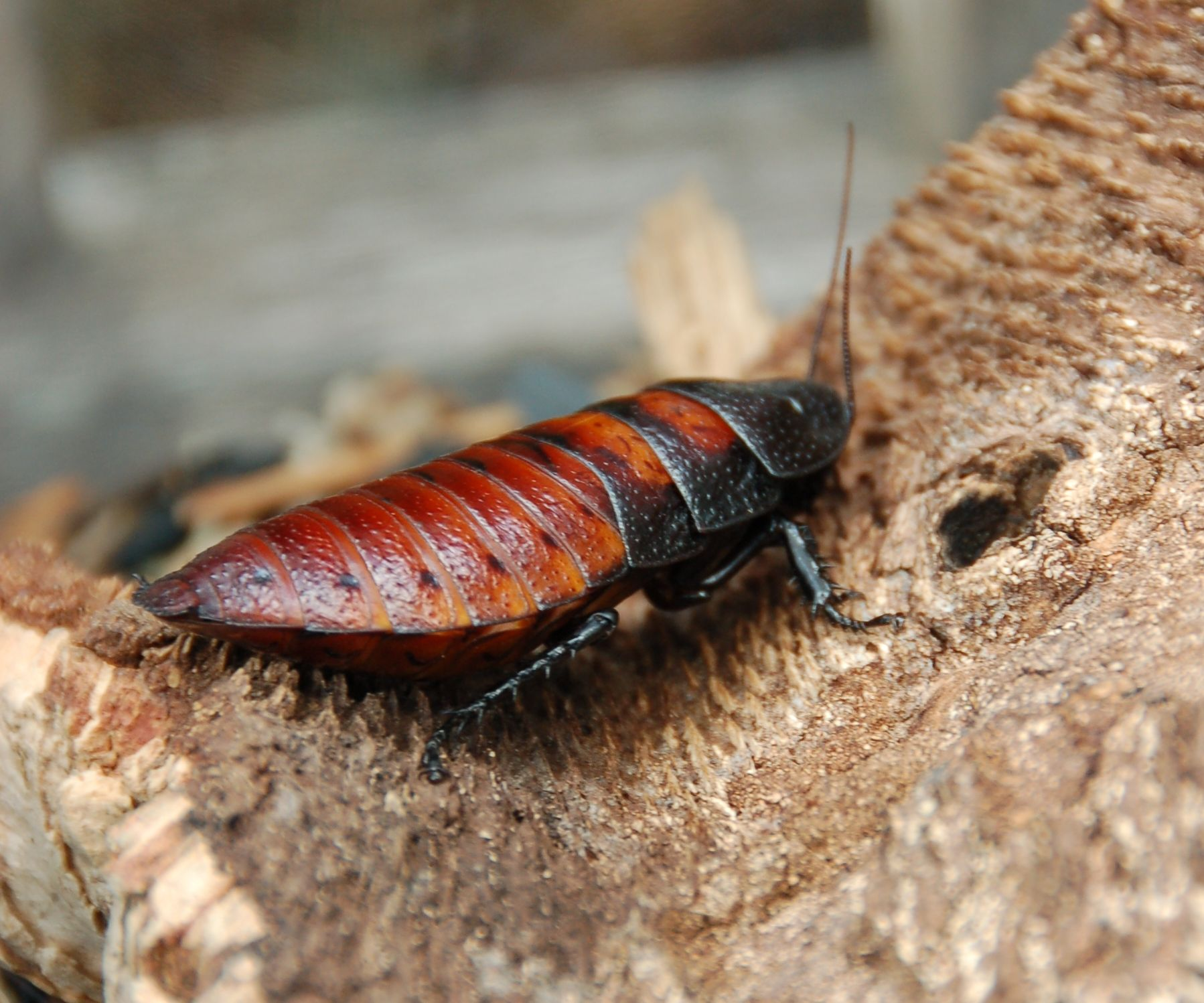 pictures How to Breed Hissing Cockroaches