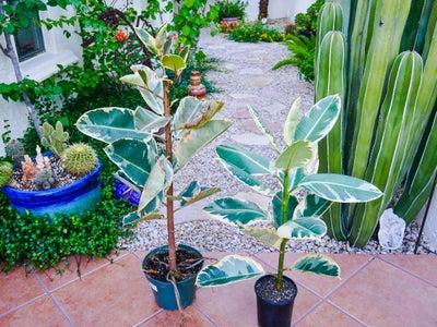 Rubber Tree Plant Care Timeline