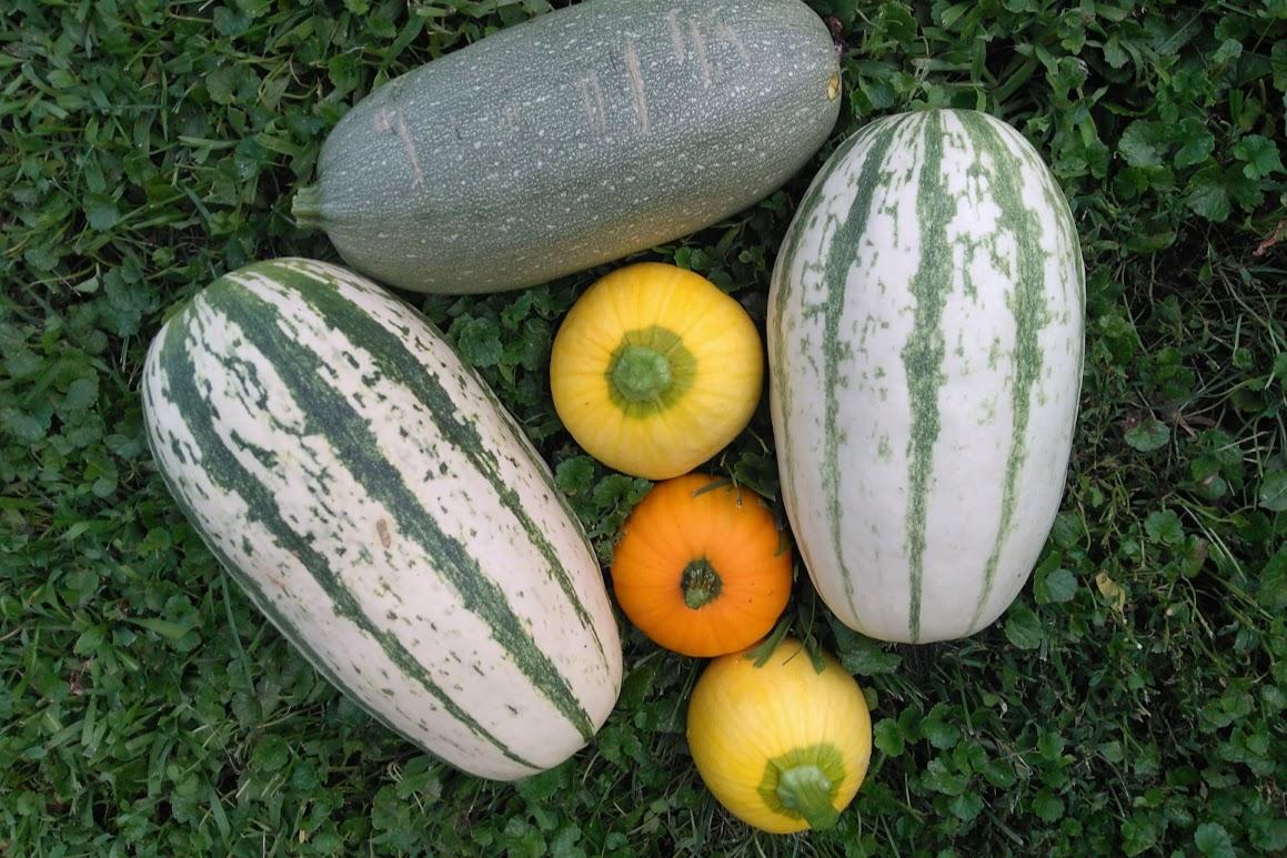 Picture of Squash Fruit