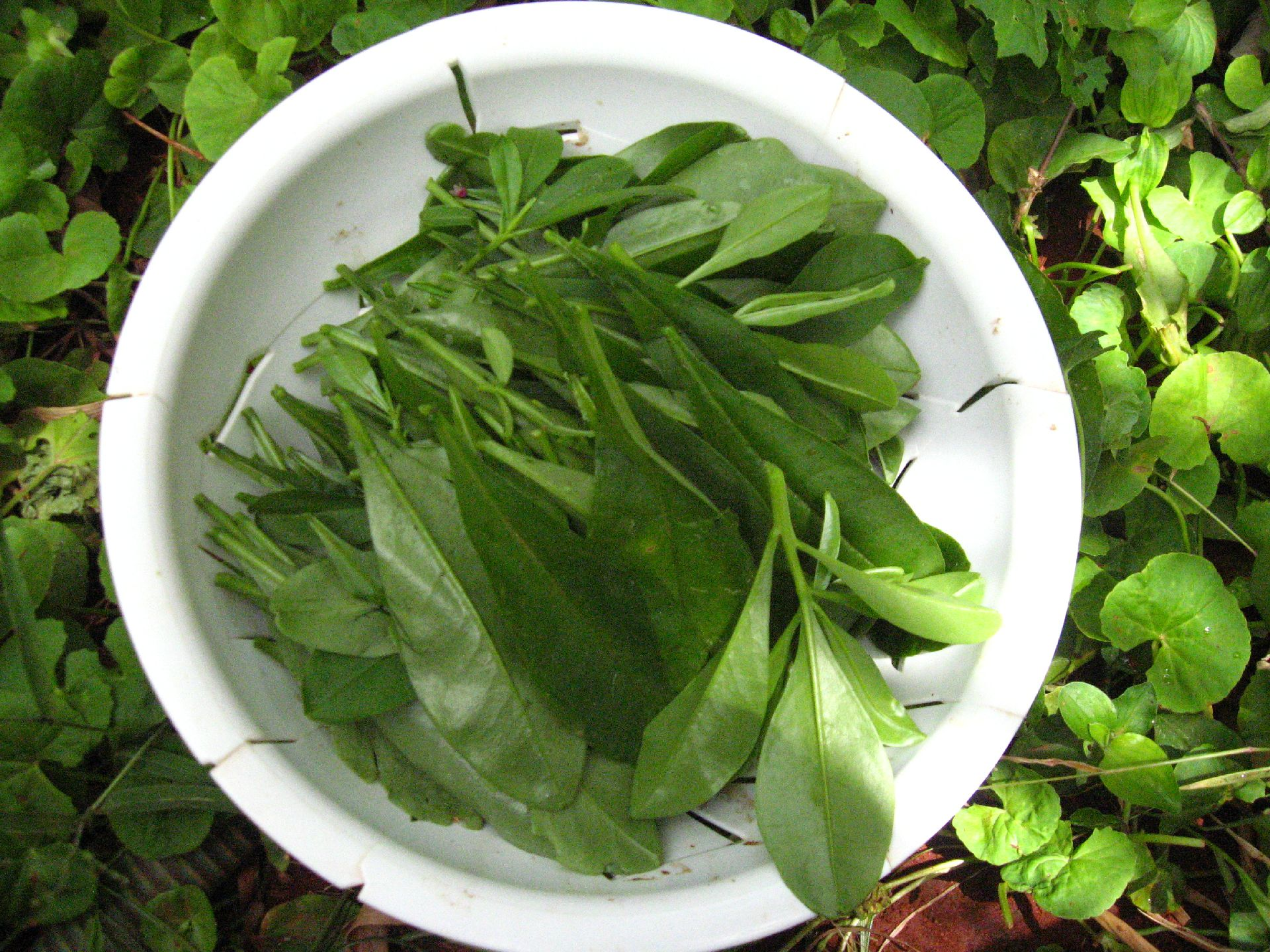 Picture of Ceylon Spinach or Surinam Purslane