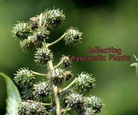 COLLECTING AYURVEDIC PLANTS