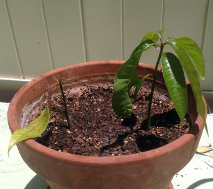 Picture of Mango Update