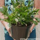 Houseplant Repotting: Christmas Cactus