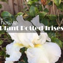 How to Plant Potted Irises