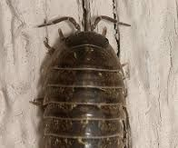For CLASSROOM SCIENCE Contest, Breeding Results From Pillbugs