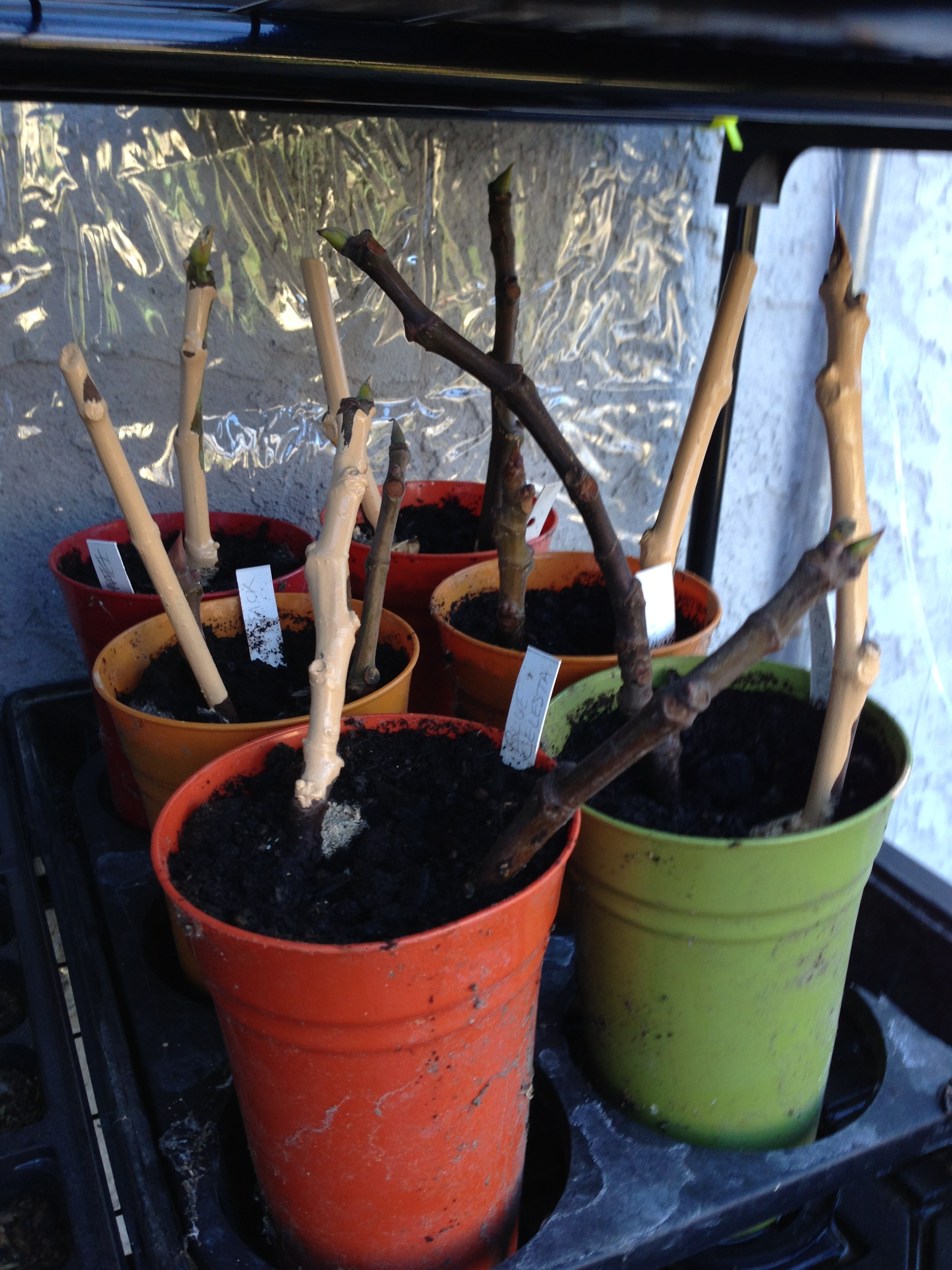 Picture of Preparing and Planting Cuttings