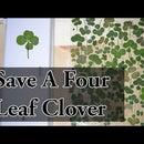How to Preserve a Four Leaf Clover