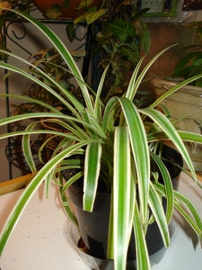 How to Multiply Your Spider Plants