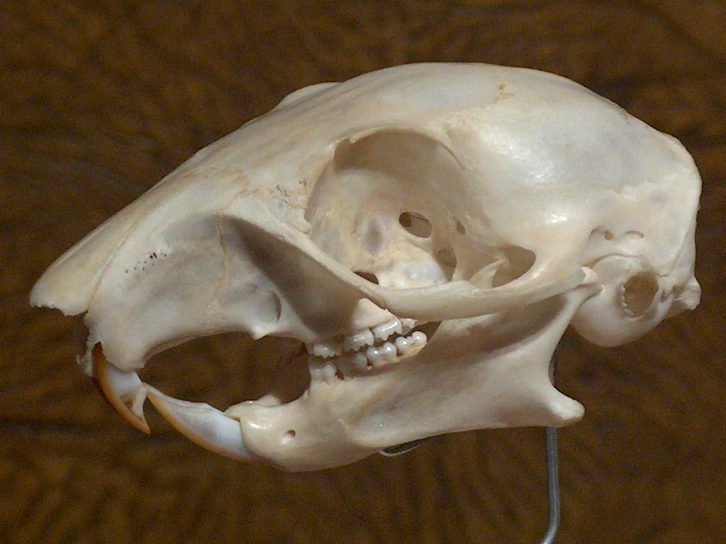 Picture of Simple Skull Display