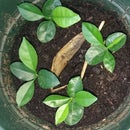 How to sprout Pomelo-Plants