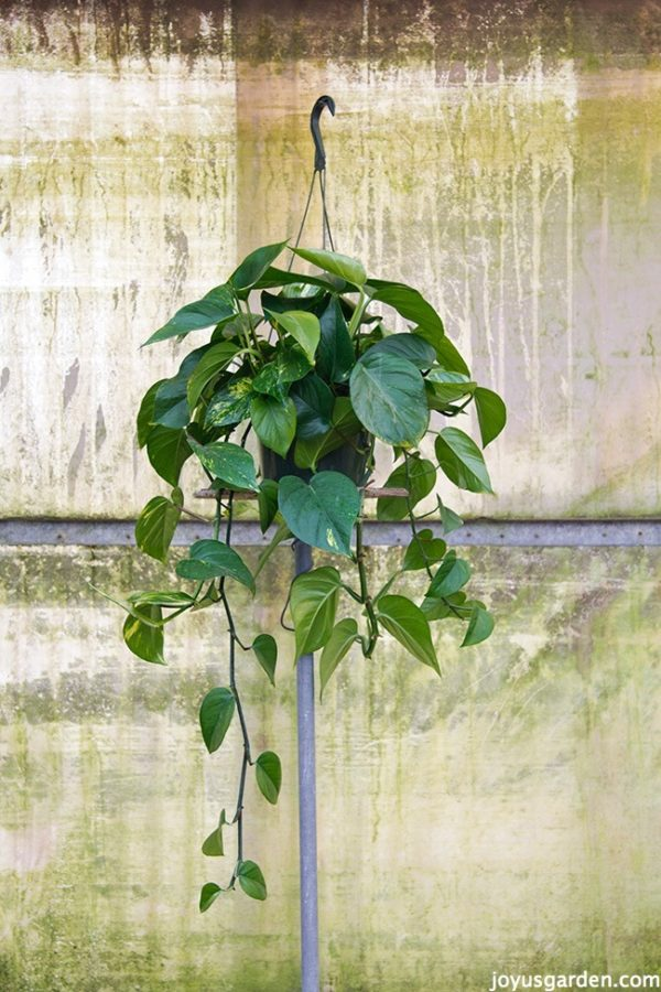 Picture of Pothos or Devils Ivy (Epipremnum Aureum Is the 1 Most Commonly Sold)