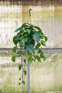 Pothos or Devils Ivy (Epipremnum Aureum Is the 1 Most Commonly Sold)