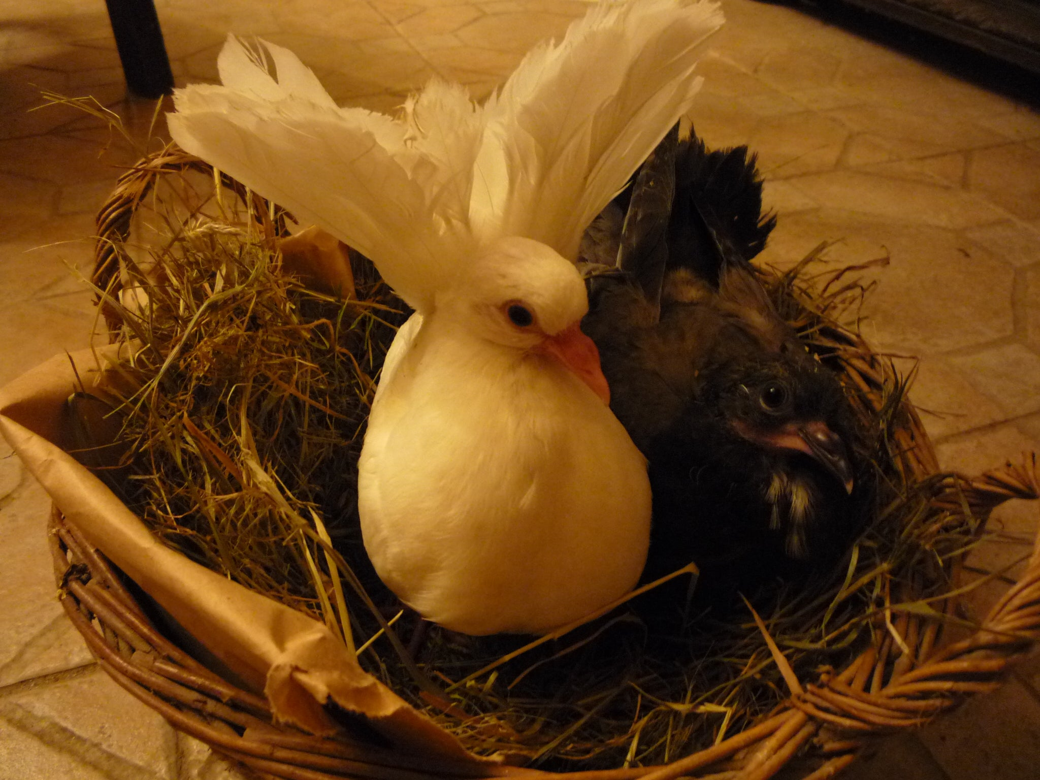 How to Hand Feed Baby Orphaned Fantail Pigeons. Caring for ...
