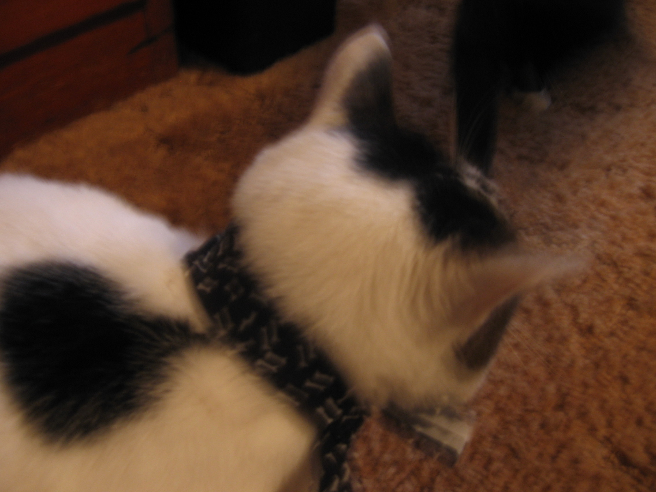 Picture of Natural Flea Collars-- Cheap, Easy and Non-irritating