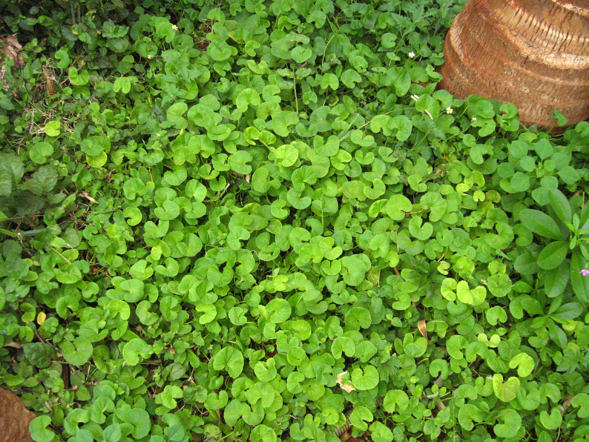 Picture of Indian Pennywort or Asiatic Pennywort