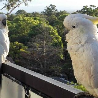 cockatoos.png