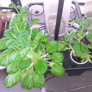 Small Indoor Hydroponic for $20