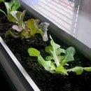 Grow vegetables indoors over winter
