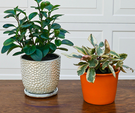 Repotting Peperomia Plants (Plus the Proven Soil Mix to Use!)