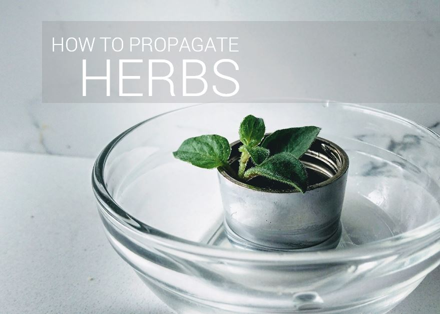 Picture of How to Propagate Herbs