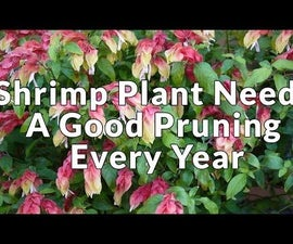 Shrimp Plant Needs a Good Pruning Every Year