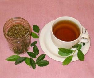 Harvest, Roast and Brew Green Tea Using a Common Shrub