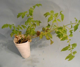 How to Grow Tomatoes Indoors2