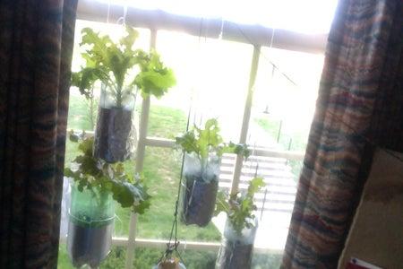 Hydroponic Lettuce Garden From Plastic Bottles (Grow Bottles)