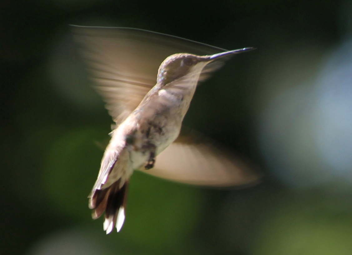 Picture of What Does a Hovering Hummingbird Sound Like?