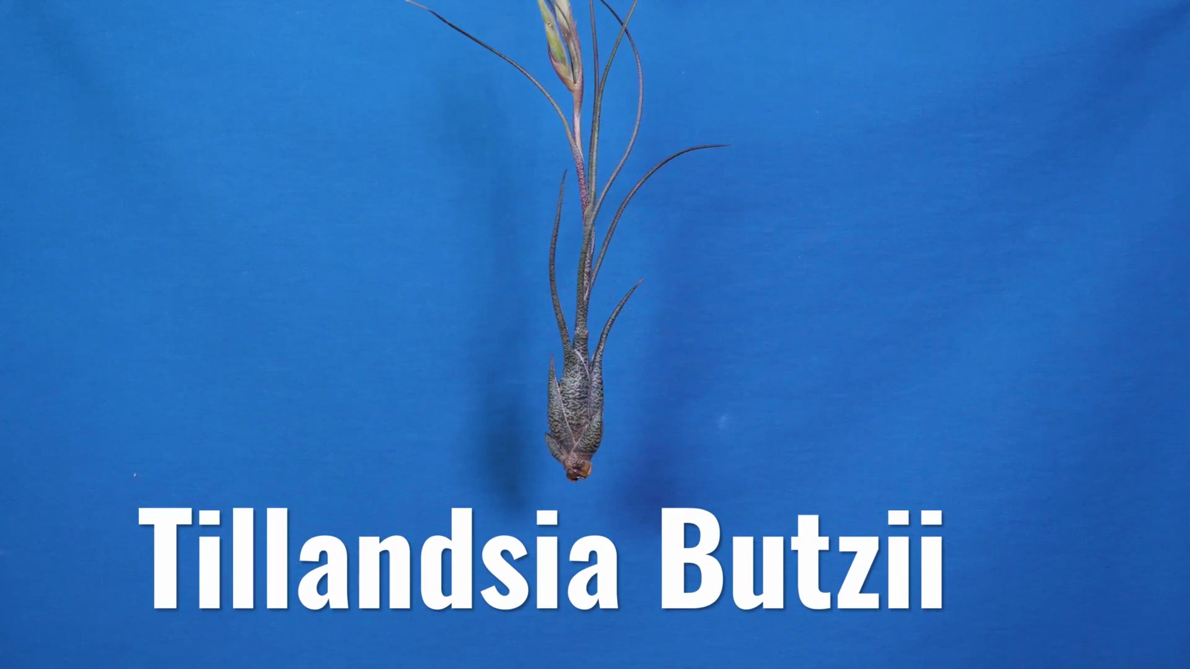 Picture of Tillandsia Plants