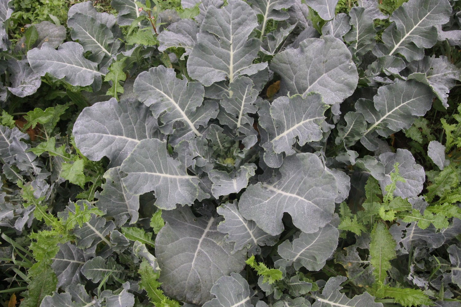 Picture of Calabrese/Broccoli