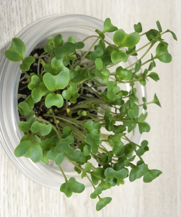 Office Farming : Growing Broccoli Microgreens Indoor