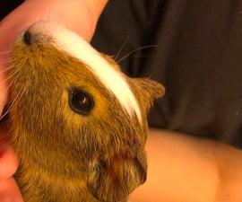 How to Bathe a Guinea Pig