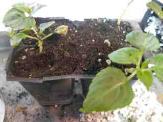 Picture of Transplanting the Starts
