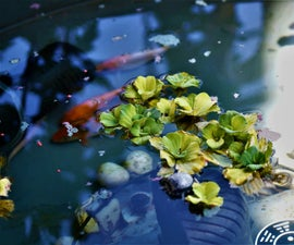 How to Add Moss to a Fish Pond