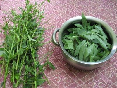 Harvest Gongura Leaves