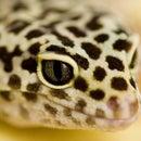 Geek Gecko