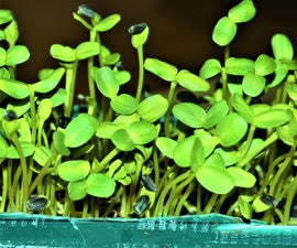 Year-Round Indoor Salad Gardening( Stage II)