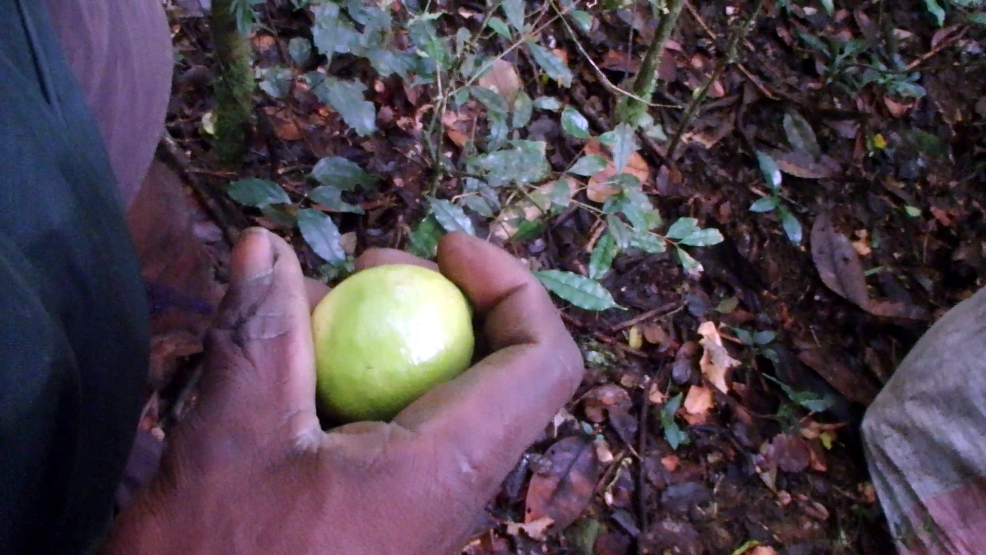 Picture of Malagasy Jungle Remedy: Multipurpose Lemon
