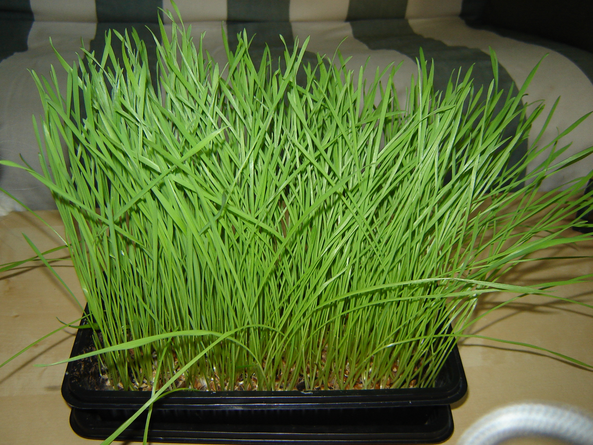 Picture of Grow Your Own Wheatgrass
